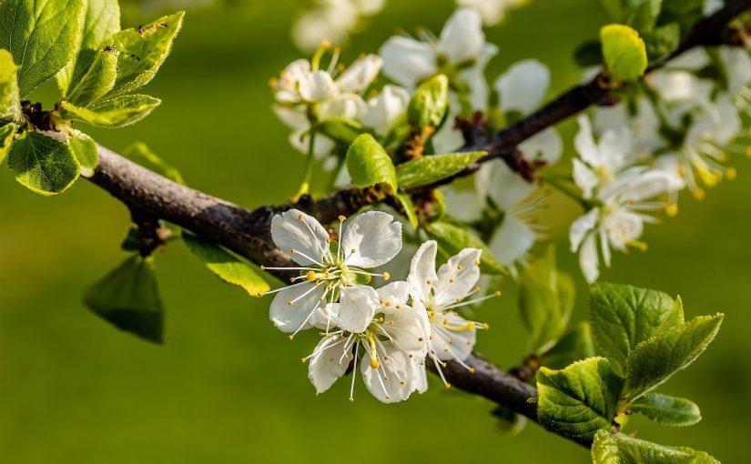 Obstbaumschnitt praktisch: Schnittvorführung